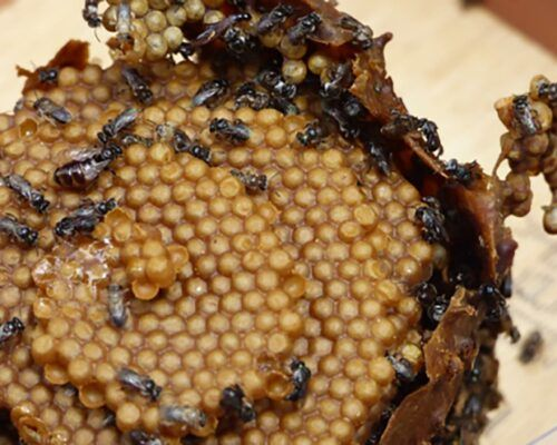 native-bees-biodiverse7